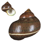 Petholatus Turbo
